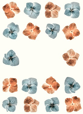 Magdalena Russocka rows of hydrangea flower heads on white background
