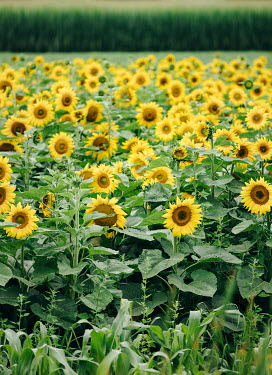 Isabelle Lafrance FIELD OF SUNFLOWERS