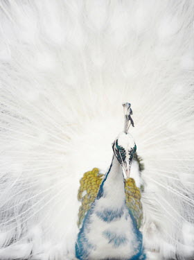 Isabelle Lafrance HEAD AND TAIL OF WHITE PEACOCK