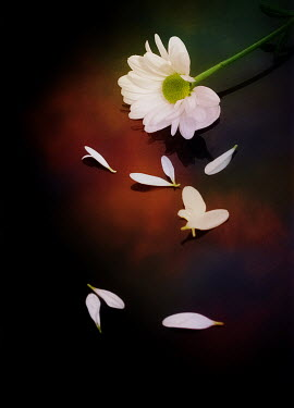 Victor Habbick WHITE FLOWER WITH SCATTERED PETALS
