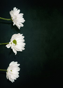 Victor Habbick ROW OF THREE WHITE FLOWERS