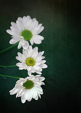 Victor Habbick THREE WHITE FLOWERS