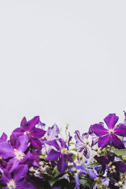 Isabelle Lafrance PURPLE FLOWERS