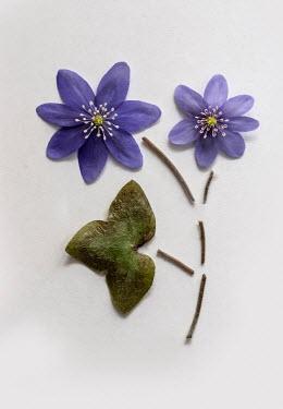 Jaroslaw Blaminsky PURPLE FLOWERS STEM AND LEAF IN PIECES