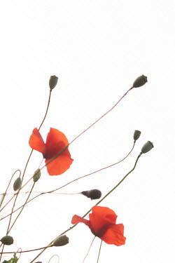 Liz Dalziel RED POPPY FLOWERS AND PODS