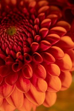 Liz Dalziel CLOSE UP OF RED FLOWER