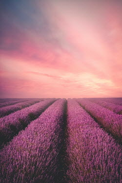 Evelina Kremsdorf ROWS OF LAVENDER IN FIELD WITH SUNSET