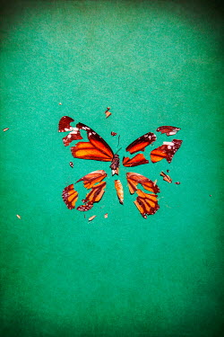 Miguel Sobreira DEAD BUTTERFLY IN PIECES
