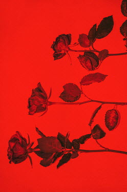 Sally Mundy THREE ROSES WITH RED BACKGROUND