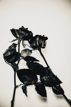 Sally Mundy TWO ROSES