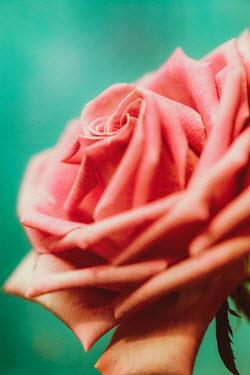 Sally Mundy CLOSE UP OF PINK ROSE