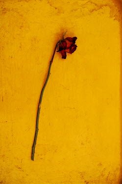Sally Mundy WITHERED RED ROSE ON YELLOW