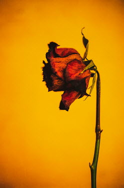 Sally Mundy WITHERED RED ROSE WITH YELLOW BACKGROUND