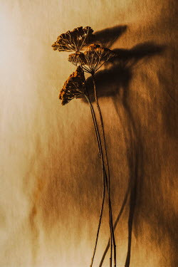 Sally Mundy DRIED FLOWERS WITH SHADOWS