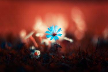 David Keochkerian LITTLE BLUE FLOWER OUTDOORS