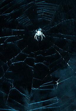 Svitozar Bilorusov SPIDER IN CENTRE OF WEB
