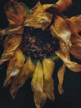Lisa Bonowicz CLOSE UP OF WITHERED SUNFLOWER