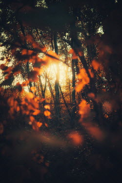 David Keochkerian AUTUMN LEAVES IN FOREST AT SUNSET