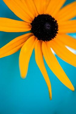 Sally Mundy Yellow coneflower