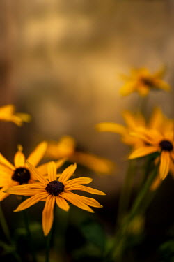 Sally Mundy Yellow coneflowers