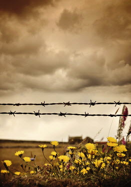 Lyn Randle BARBED WIRE WITH DANDELIONS IN STORMY COUNTRYSIDE