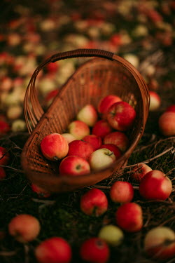 Rebecca Stice WICKER BASKET WITH APPLES ON GROUND