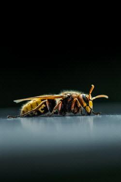 Magdalena Russocka close up of hornet