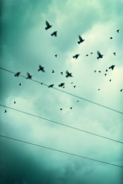 Magdalena Russocka flock of birds flying by power lines