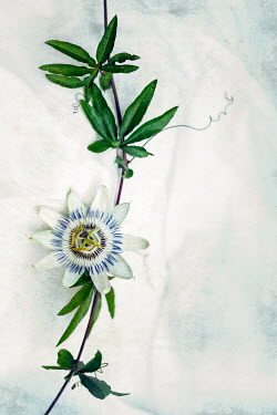 Sally Mundy PASSION FLOWER WITH LEAVES