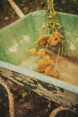 Sally Mundy YELLOW FLOWERS IN WEATHERED WHEELBARROW
