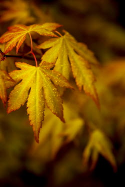 Sally Mundy AUTUMN ACER LEAVES WITH RAINDROPS