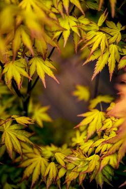 Sally Mundy ACER TREE WITH AUTUMN LEAVES