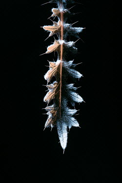 Magdalena Russocka leaf with spikes in shadow