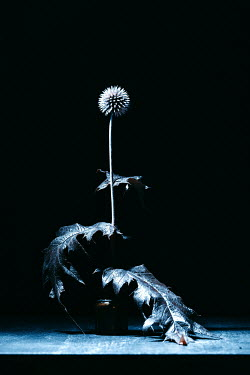 Magdalena Russocka globe-thistle plant in shadow
