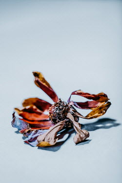 Magdalena Russocka withered flower head lying down