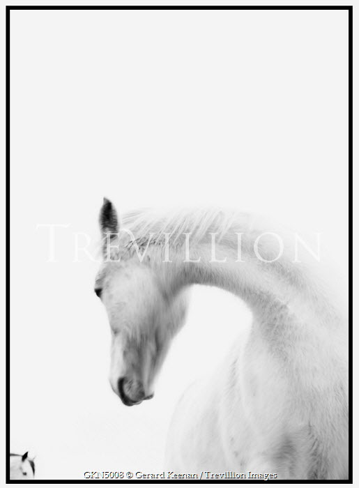 Gerard Keenan white horse in profile Animals