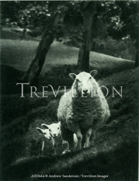 Andrew Sanderson SHEEP WITH LAMB ON HILL Animals