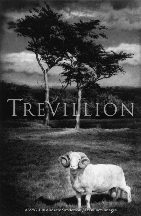 Andrew Sanderson RAM IN FIELD Animals