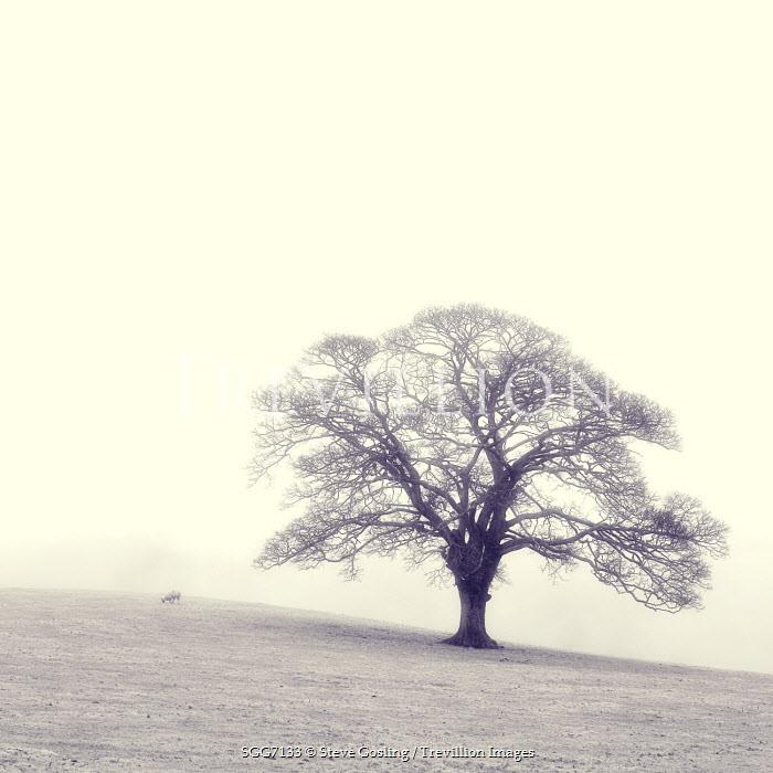 Steve Gosling TREE IN MISTY FIELD Trees/Forest