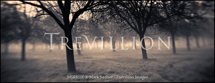 Mark Sadlier TREES IN MIST Trees/Forest
