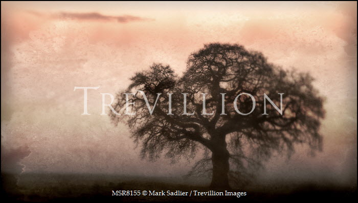 Mark Sadlier TREE IN SILHOUETTE Trees/Forest