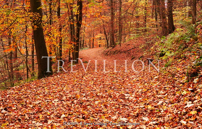 Steve Gosling AUTUMN LEAVES ON FOREST PATH Paths/Tracks