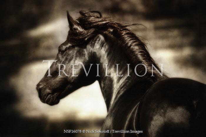 Nick Sokoloff BLACK HORSE Animals