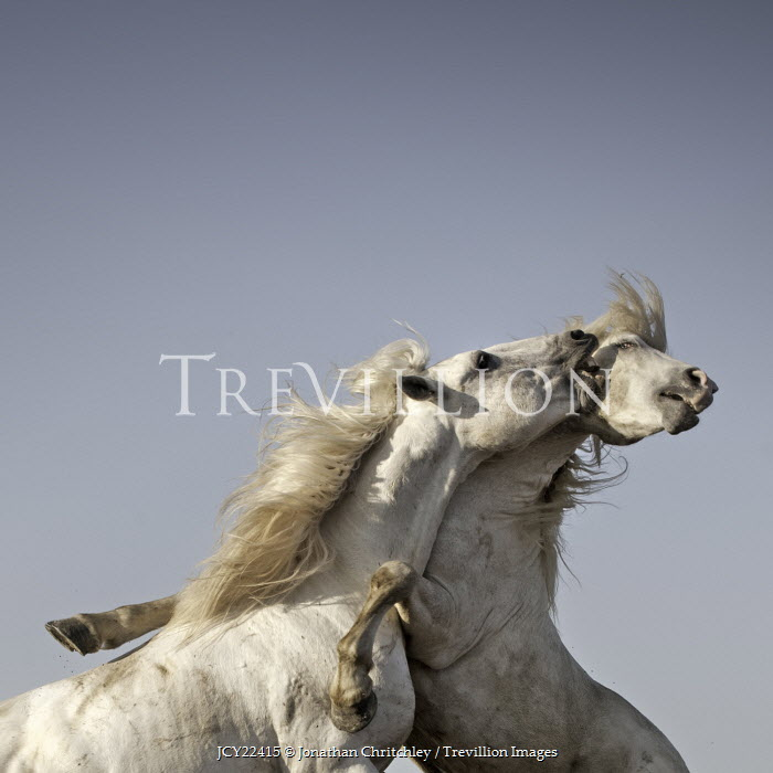 Jonathan Chritchley TWO WHITE HORSES PLAYING Animals