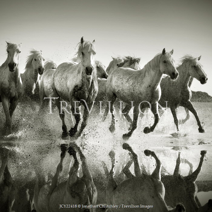 Jonathan Chritchley HERD OF WHITE HORSES GALLOPING IN SEA Animals