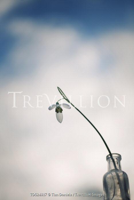 Tim Daniels SNOWDROP IN GLASS BOTTLE Flowers/Plants