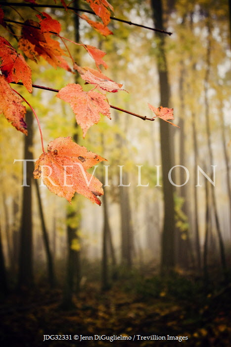 Jenn DiGuglielmo AUTUMN LEAVES WITH FOGGY TREES Trees/Forest