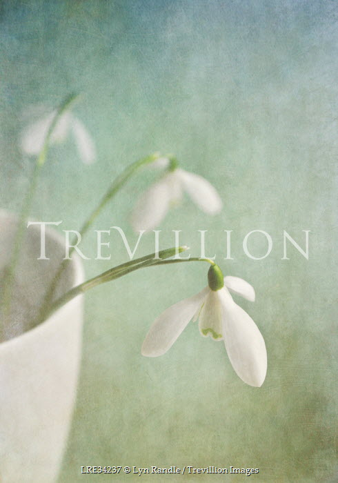 Lyn Randle DELICATE SNOWDROPS IN WHITE BOWL Flowers/Plants