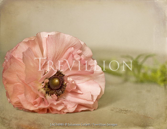 Julianna Collett PINK FLOWER WITH GOLDEN CENTRE Flowers/Plants