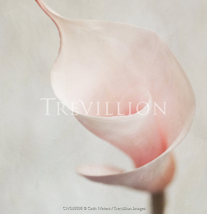 Cath Waters BEAUTIFUL PINK CALLA LILY Flowers/Plants
